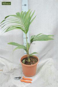 palmbomen kopen